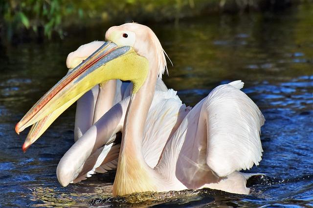 pelikán na vodě