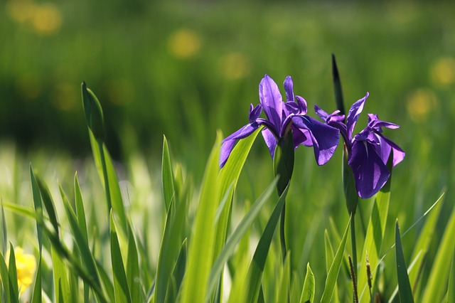 fialové kosatce
